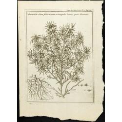 1777 - Mercuriale - Botanique
