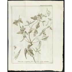 1777 - Haricots - Botanique