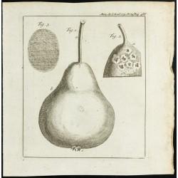1777 - Poire - Botanique
