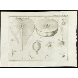 1777 - Anatomie de la Poire...