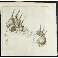 1777 - Bulbes de Safran -...
