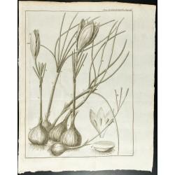 1777 - Safran - Plante,...
