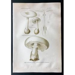 1891 - Champignons - Amanite