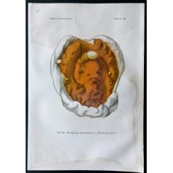 1891 - Champignons - Merule...