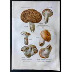 1891 - Champignons - Hydne ...