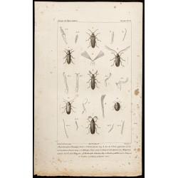 1844 - Coléoptères (Cebrio...