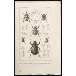 1844 - Scarabées ( Oryctes,...