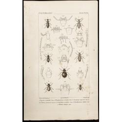 1844 - Coléoptères (...