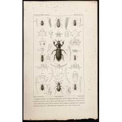 1844 - Tenebrionidae (...