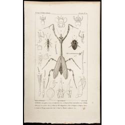 1844 - Perce-oreille,...