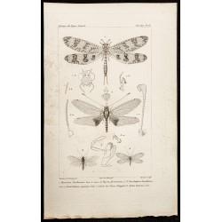 1844 - Névroptères Hemerobius