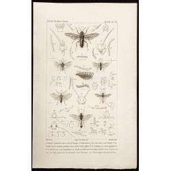 1844 - Hyménoptères frelons