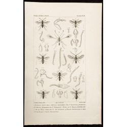1844 - Planche d'Hyménoptères