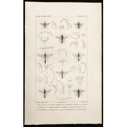 1844 - Planche de Hyménoptères