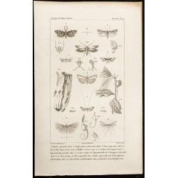 1844 - Planche de Papillons