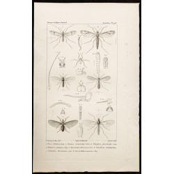 1844 - Diptères (Dixa,...
