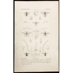1844 - Diptères (Laphria,...