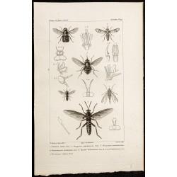 1844 - Diptères (Tabanus,...
