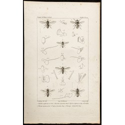 1844 - Diptères (Aphritis,...