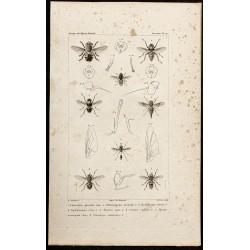 1844 - Diptères (Cuterebra,...