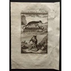 1799 - Le sarigue mâle et...