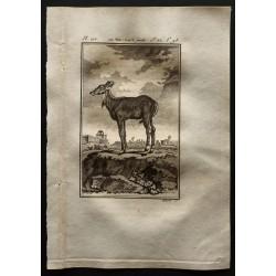 1799 - Le Nil-gaut femelle
