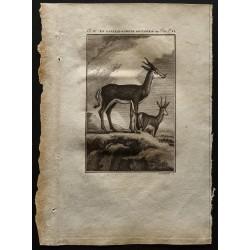1799 - La gazelle ou chèvre...