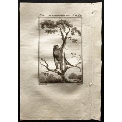 1799 - Le galéopithèque varié