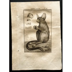 1799 - Le koyac-galago