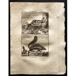 1799 - Le zorille, le conepate