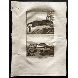 1799 - La loutre du Canada,...