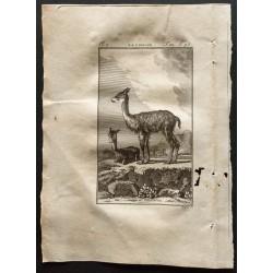 1799 - La vigogne