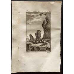 1799 - Jeunes aïs (Paresseux)