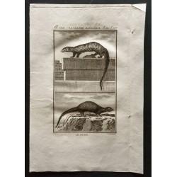1799 - La grande mangouste,...