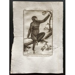 1800 - Jeune orang-outan...