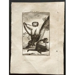 1800 - Le singe de Moco...