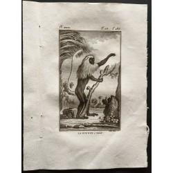 1800 - La guenon à camail...