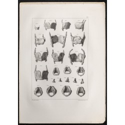 1864 - Cartilage Larynx et...