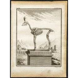 1764 - Squelette d'un chamois