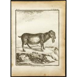 1764 - Bouc d'Afrique