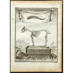 1764 - Squelette de Bouc