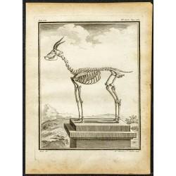 1764 - Squelette de gazelle