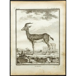 1764 - Gazelle d'Ethiopie