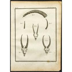 1764 - Cornes de Gazelle