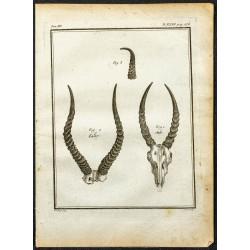 1764 - Cornes de Cobe de...