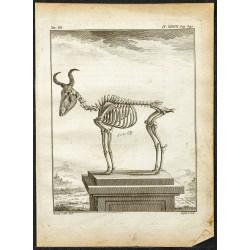 1764 - Squelette de Bubale