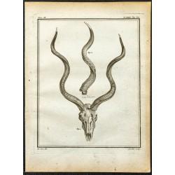 1764 - Crâne et cornes de...