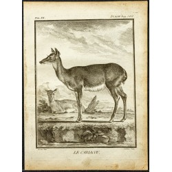 1764 - Cariacou ou Daguet gris
