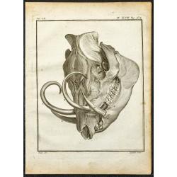 1764 - Crâne et défense de...