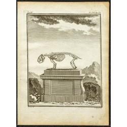 1764 - Squelette de porc-épic